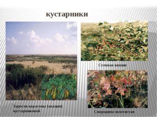 кустарники Заросли караганы (акации) кустарниковой Степная вишня Смородина з