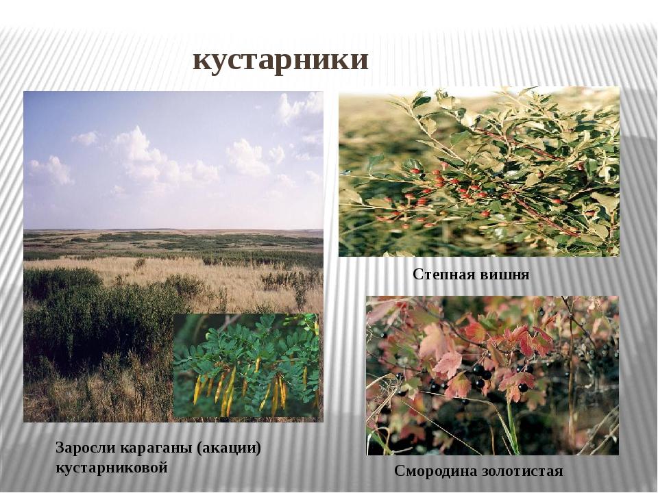 кустарники Заросли караганы (акации) кустарниковой Степная вишня Смородина з...