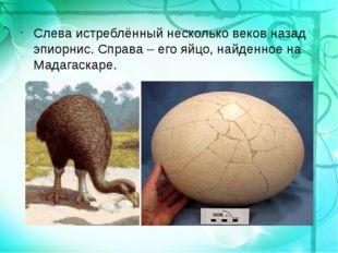 Слева истреблённый несколько веков назад эпиорнис. Справа – его яйцо, найденн