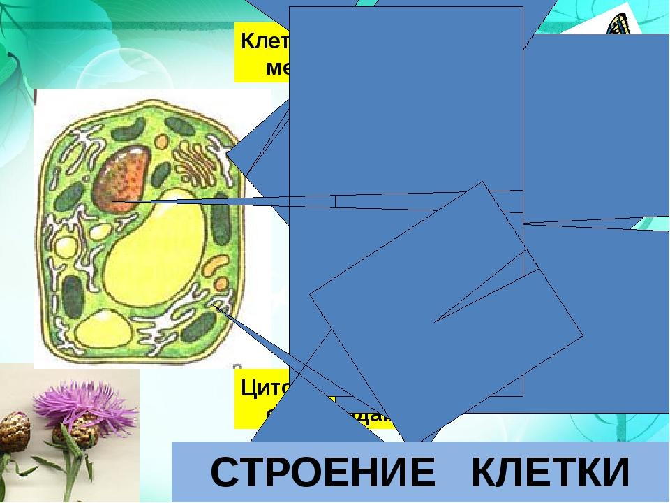 Клеточная мембрана Ядро Цитоплазма с органоидами СТРОЕНИЕ КЛЕТКИ