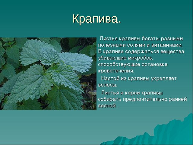 Крапива. Листья крапивы богаты разными полезными солями и витаминами. В крапи...