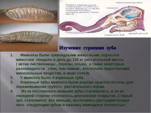Мамонты были травоядными животными, взрослое животное поедало в день до 150