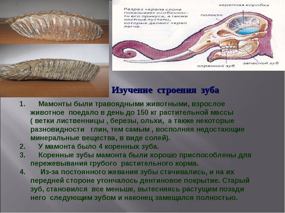 Мамонты были травоядными животными, взрослое животное поедало в день до 150...