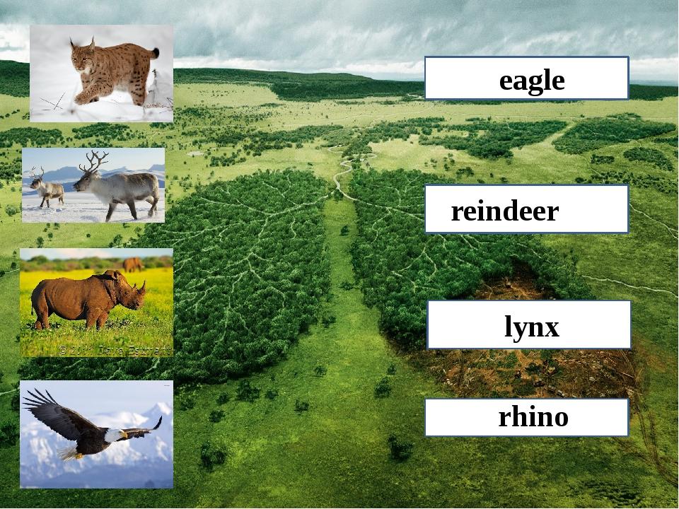 lynx reindeer rhino eagle