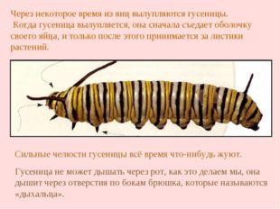 Сильные челюсти гусеницы всё время что-нибудь жуют. Через некоторое время из
