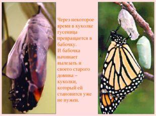 Через некоторое время в куколке гусеница превращается в бабочку. И бабочка на