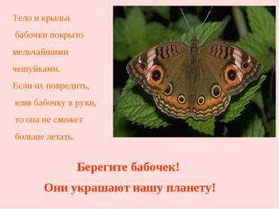 Тело и крылья бабочки покрыто мельчайшими чешуйками. Если их повредить, взяв