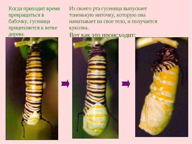 Из своего рта гусеница выпускает тоненькую ниточку, которую она наматывает на...