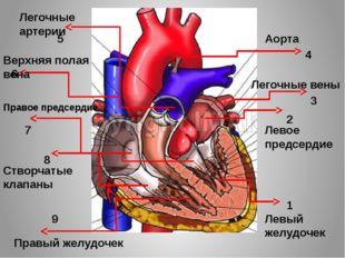 1 2 4 8 7 3 6 5 9 Левый желудочек Левое предсердие Легочные вены Аорта Легочн
