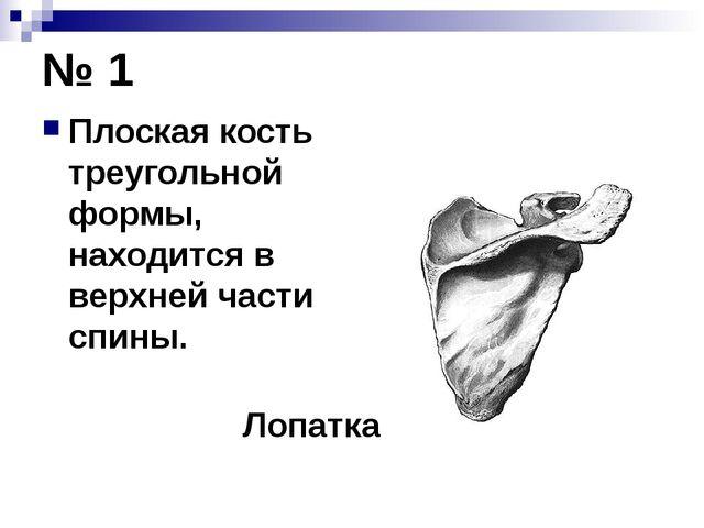 № 1 Плоская кость треугольной формы, находится в верхней части спины. Лопатка