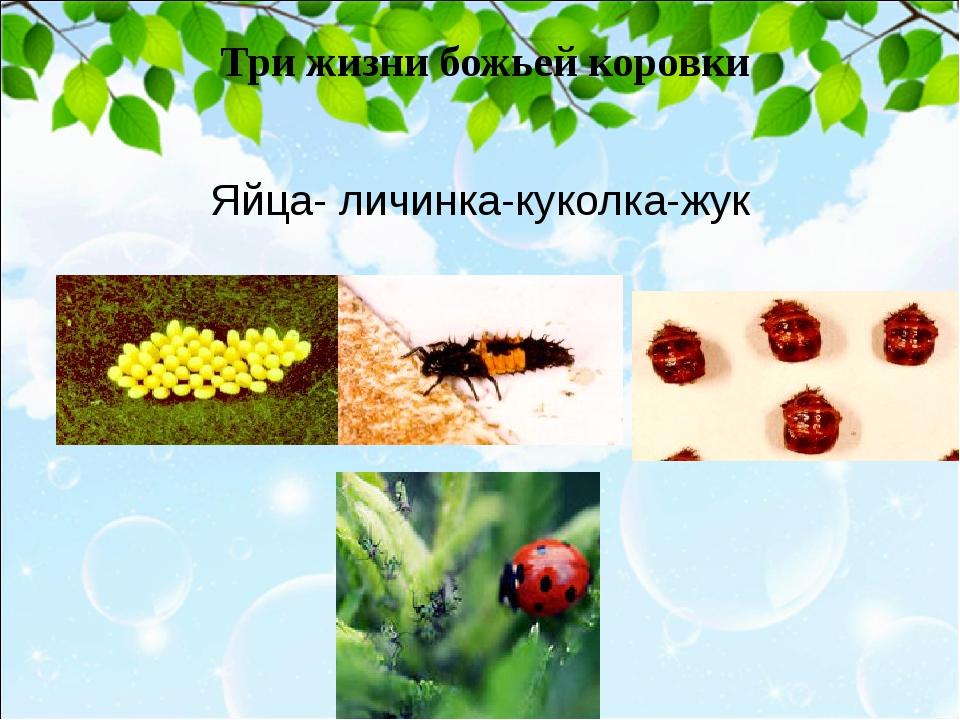 Три жизни божьей коровки Яйца- личинка-куколка-жук