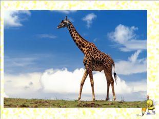 Рефлексия Он высокий и пятнистый, С длинной - длинной шеей. А питается он лис
