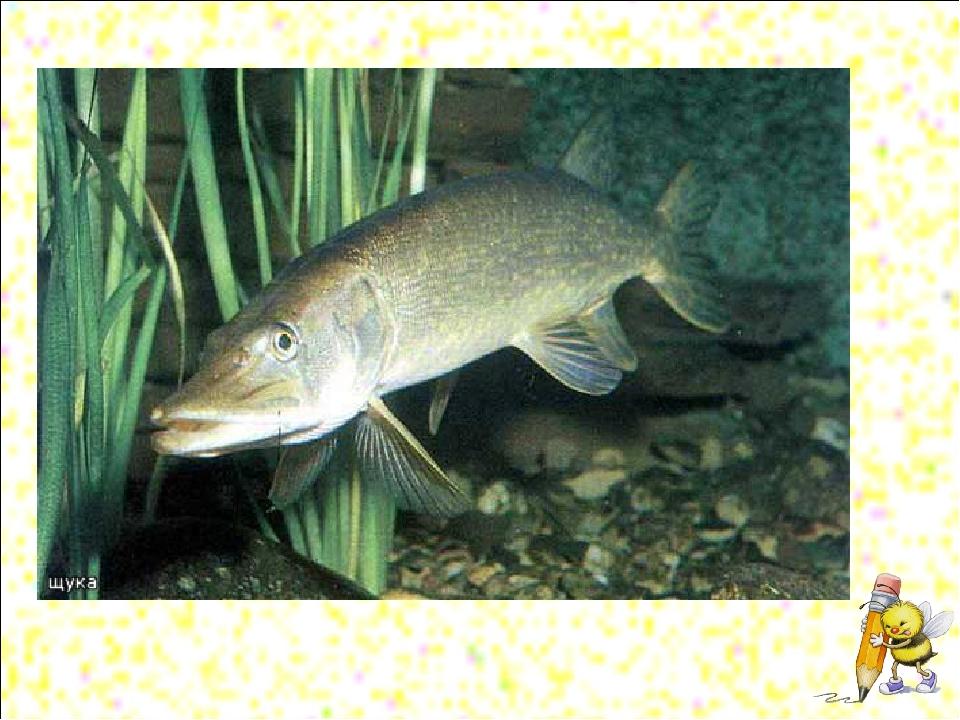Рефлексия Полосатая, зубастая, Под водой рыщет, Маленьких рыбок ищет.