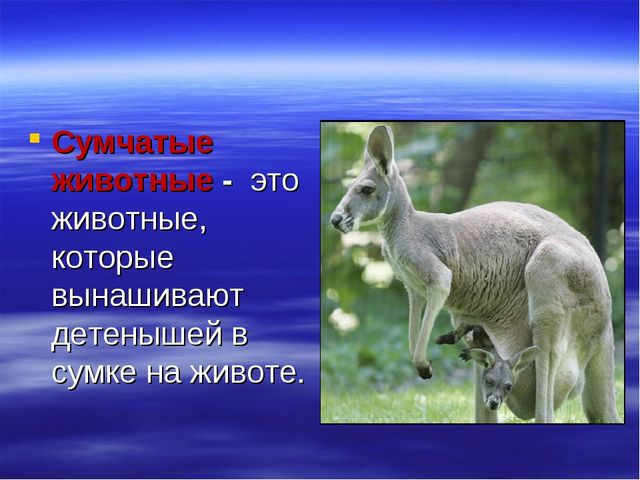 Сумчатые животные - это животные, которые вынашивают детенышей в сумке на жив...