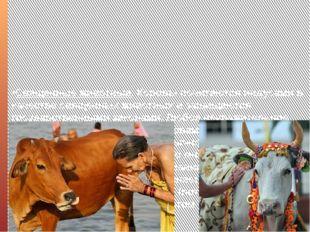•Священные животные. Коровы почитаются индусами в качестве священных животных