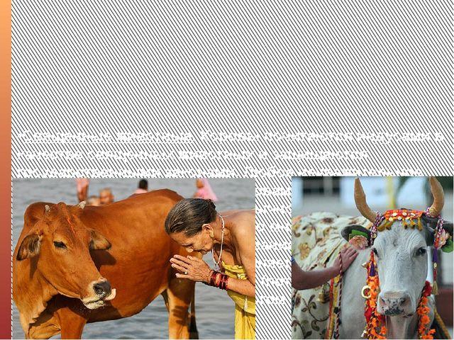 •Священные животные. Коровы почитаются индусами в качестве священных животных...