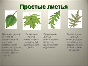 Простые листья Лопастные листья имеют вырезы не более 1/4 ширины листа (клён)