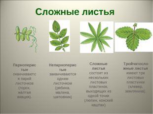 Сложные листья Тройчатосложные листья имеют три листовых пластинки (клевер, з