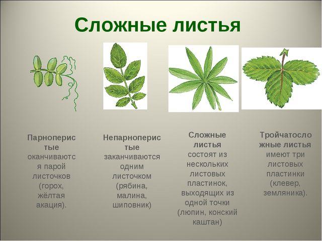 Сложные листья Тройчатосложные листья имеют три листовых пластинки (клевер, з...