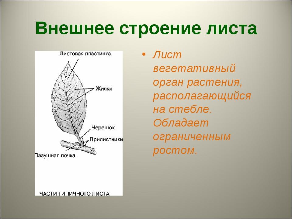 Внешнее строение листа Лист вегетативный орган растения, располагающийся на с...
