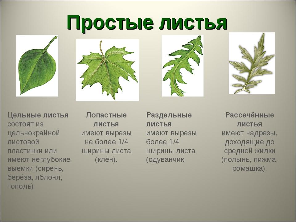 Простые листья Лопастные листья имеют вырезы не более 1/4 ширины листа (клён)...