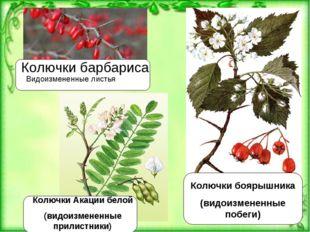 Колючки барбариса Видоизмененные листья Колючки боярышника (видоизмененные по