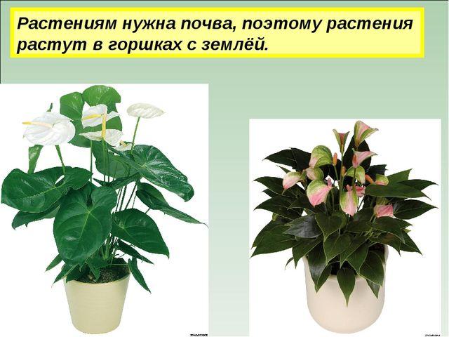 Растениям нужна почва, поэтому растения растут в горшках с землёй.