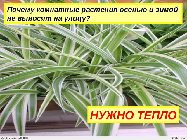 Почему комнатные растения осенью и зимой не выносят на улицу? НУЖНО ТЕПЛО
