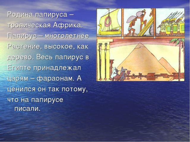 Родина папируса – тропическая Африка. Папирус – многолетнее Растение, высокое...