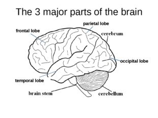 The 3 major parts of the brain temporal lobe parietal lobe frontal lobe occip