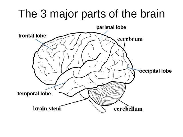 The 3 major parts of the brain temporal lobe parietal lobe frontal lobe occip...