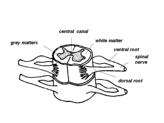 dorsal root spinal nerve ventral root white matter central canal grey matterc