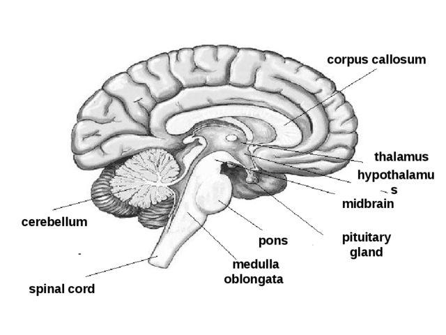 spinal cord thalamus corpus callosum cerebellum pons medulla oblongata hypot...