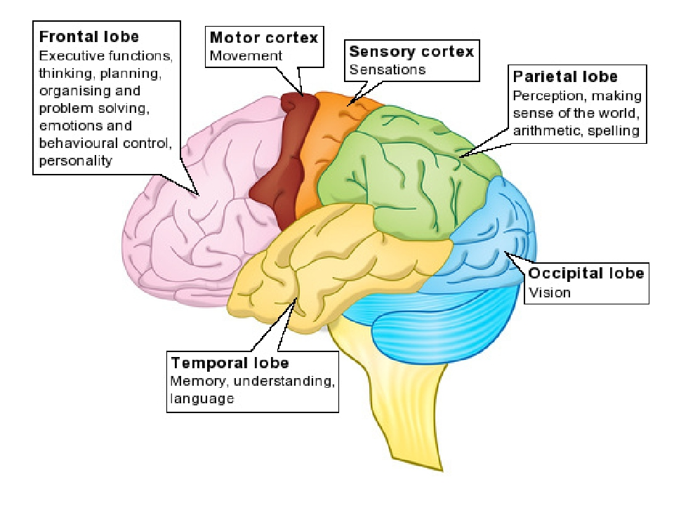 Your Brain amp Nervous System for Kids  KidsHealth