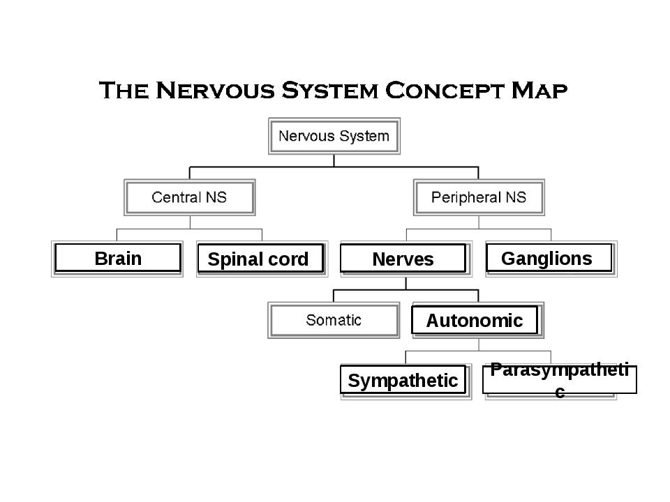 Brain Sympathetic Autonomic Spinal cord Nerves Ganglions Parasympathetic