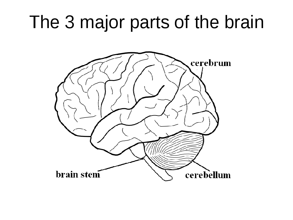 The 3 major parts of the brain