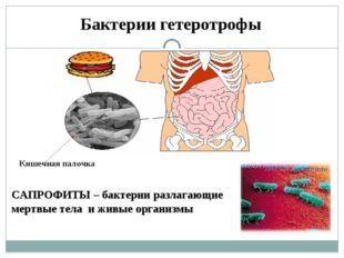 Бактерии гетеротрофы Кишечная палочка САПРОФИТЫ – бактерии разлагающие мертвы