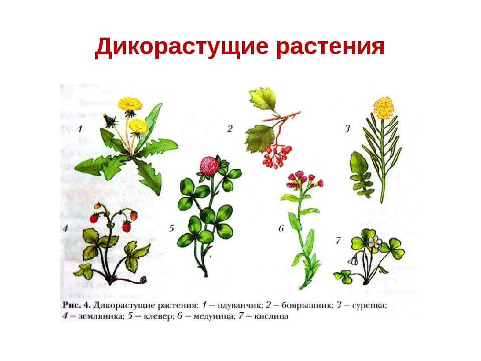 Картинка дикорастущие растения
