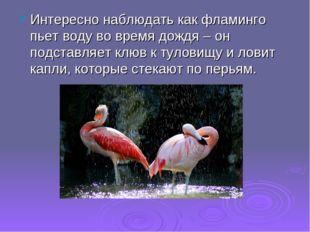 Интересно наблюдать как фламинго пьет воду во время дождя – он подставляет кл
