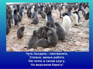 Чуть поодаль - пингвинята, Словно, малые ребята. Им тепло в своем кругу, На
