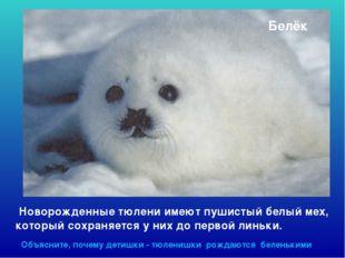 Белёк Новорожденные тюлени имеют пушистый белый мех, который сохраняется у ни