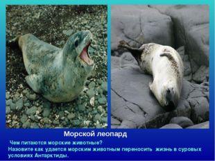 Морской леопард Чем питаются морские животные? Назовите как удается морским ж