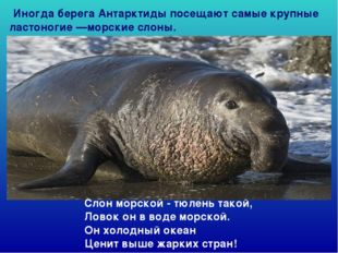 Слон морской - тюлень такой, Ловок он в воде морской. Он холодный океан Це