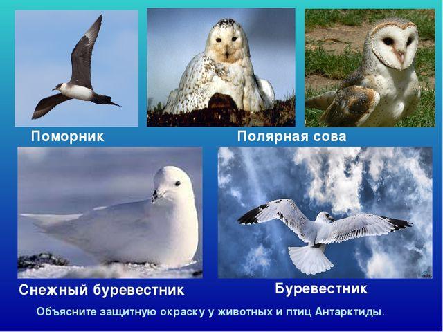 Снежный буревестник Поморник Буревестник Объясните защитную окраску у животн...