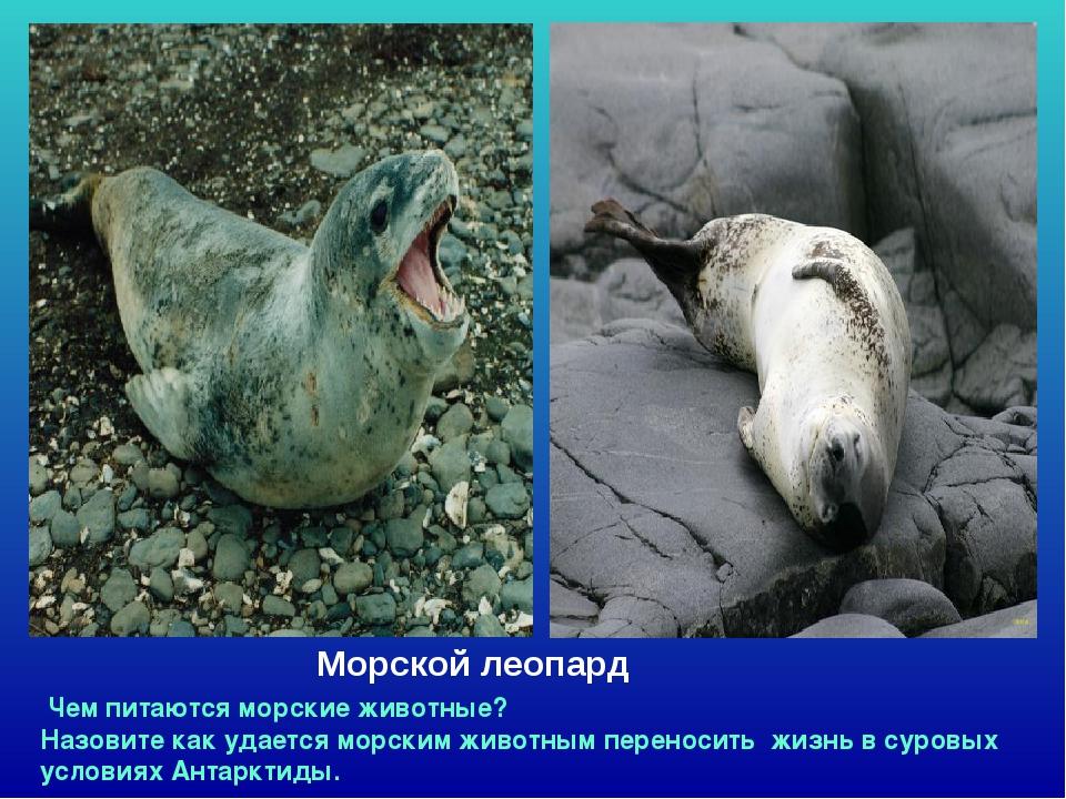 Морской леопард Чем питаются морские животные? Назовите как удается морским ж...
