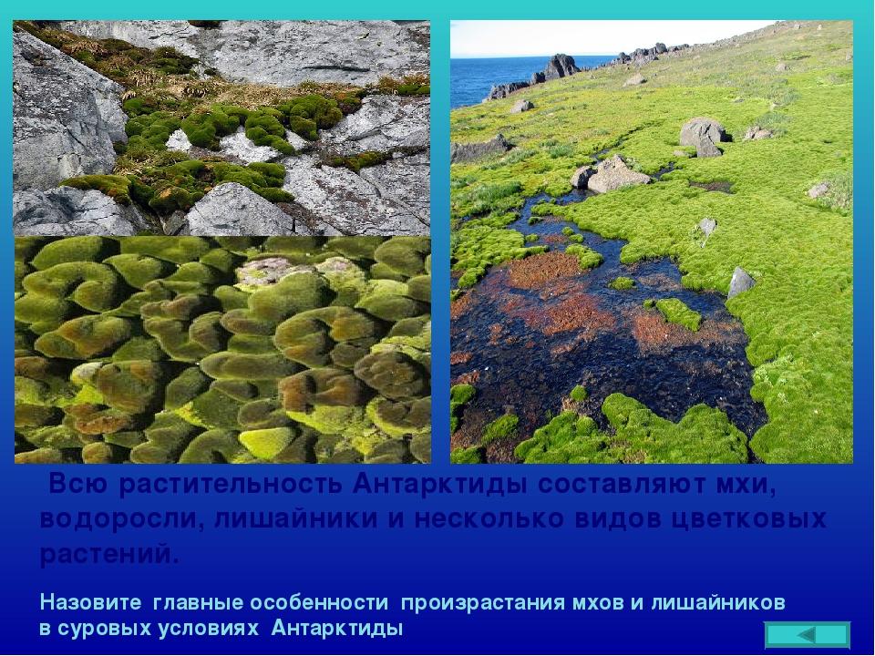 Всю растительность Антарктиды составляют мхи, водоросли, лишайники и несколь...