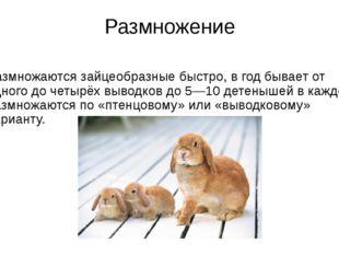 Размножение Размножаются зайцеобразные быстро, в год бывает от одного до четы