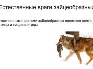 Естественные враги зайцеобразных Естественными врагами зайцеобразных являются