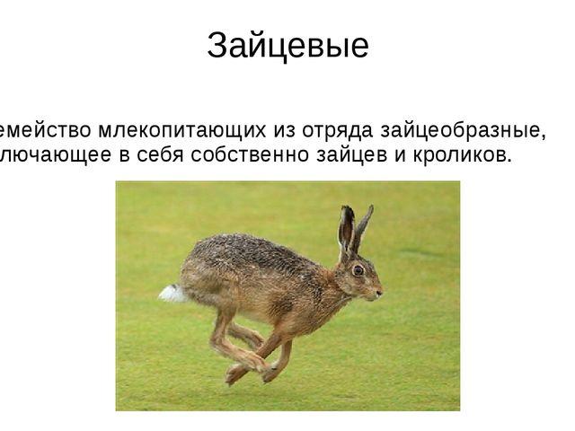 Зайцевые Семейство млекопитающих из отряда зайцеобразные, включающее в себя с...