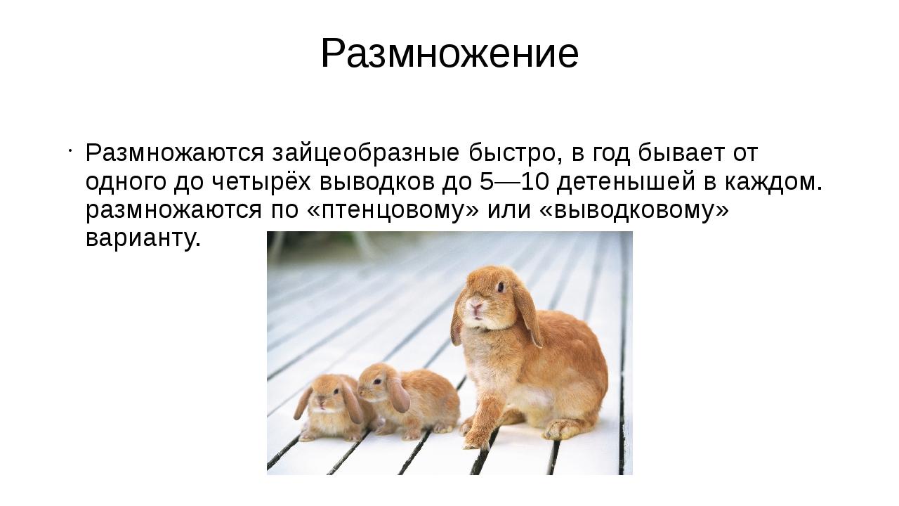 Размножение Размножаются зайцеобразные быстро, в год бывает от одного до четы...